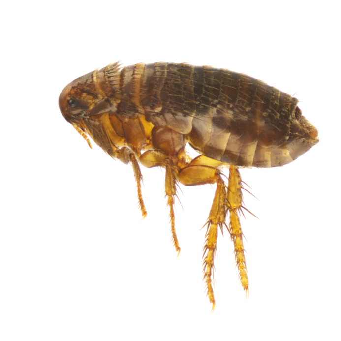 Ctenocephalides felis. I had a client ask me if carpet cleaning will kill fleas.
